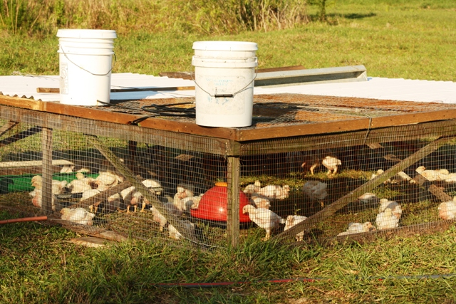 Big or small they re sustainable all arkansas for Big chicken tractor